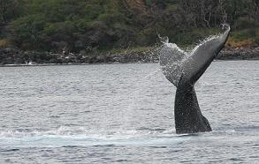 Humpback whales love Maui's tropical ocean, visitors love our beachfron condos!