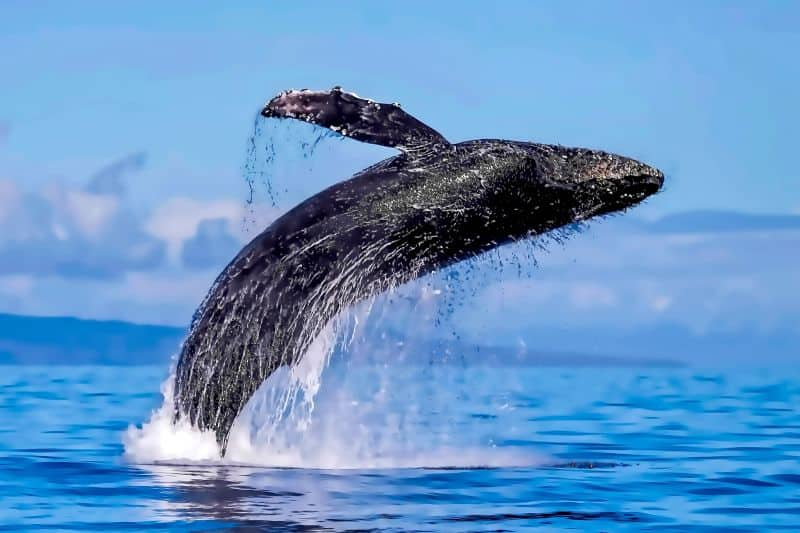 The Time Has Arrived- It's Humpback Whale Watching Season in Maui